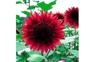 Rudá slunečnice - balení 15 semínek - poštovné zdarma
