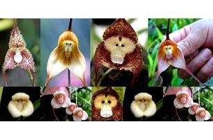 Orchideje s opičí tváří 20 semínek