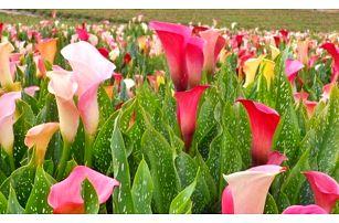Balení 100 semen barevné kaly