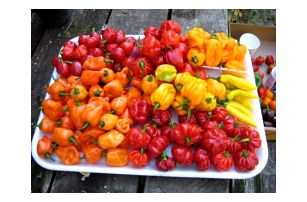 Semena vzácných odrůd chilli papriček - 200 ks