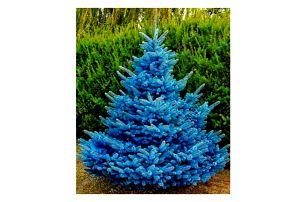 Semena modrého smrku - 20 ks