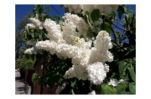 Bílý šeřík - 100 semen