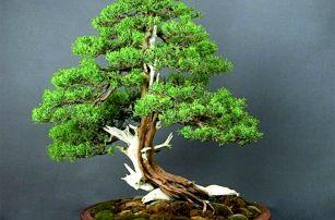 Bonsai juniper - 50 semínek
