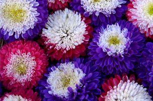 Chryzantéma - 100 semínek