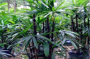 Bambusová palma - 20 ks semínek
