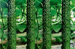 Semínka okurek - výběr z 9 odrůd