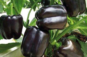 Černá paprika - 100 ks semen